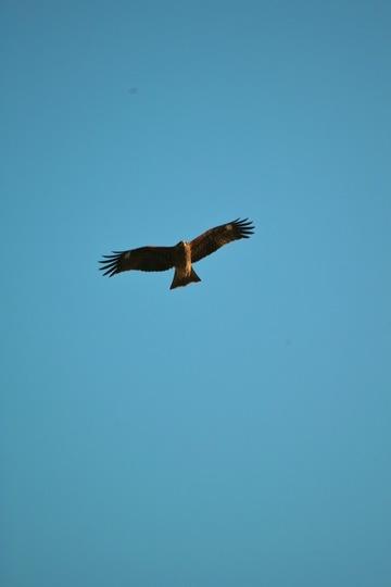 Black_kite12242007-01.jpg