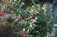 Camellia02112011nex5VS-1.JPG