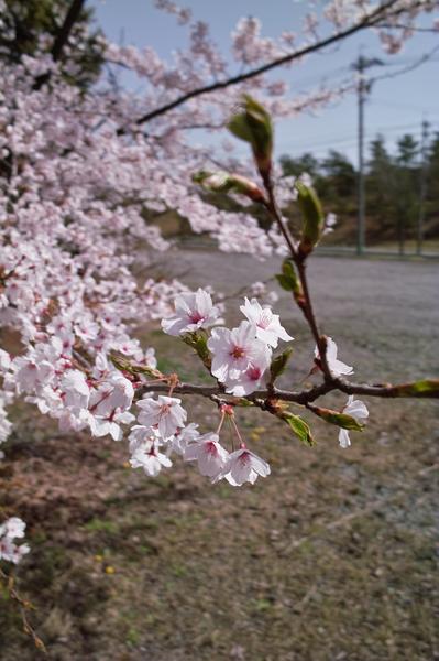 Cherry_Blossom04152008-01d.jpg