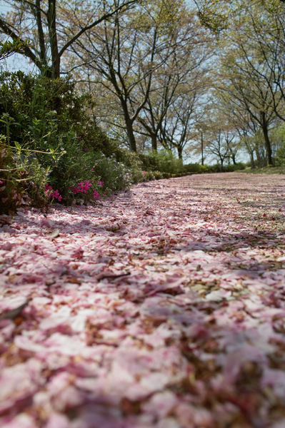 Cherry_Blossom04202008.jpg