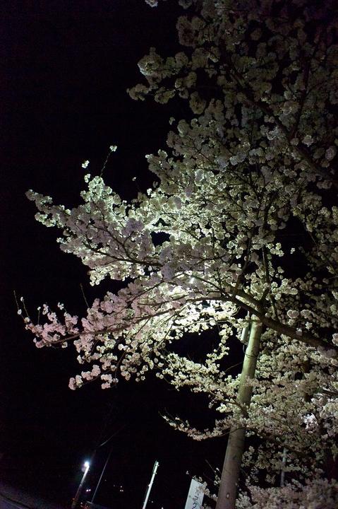 Cherry_blossom04152011dp2-2.jpg