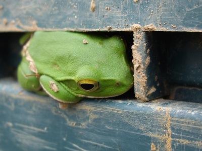 GW_Frog05042008p.JPG