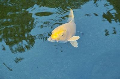 Golden-Carp07222007-2.jpg