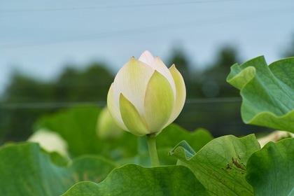 Lotus07222007-1.jpg