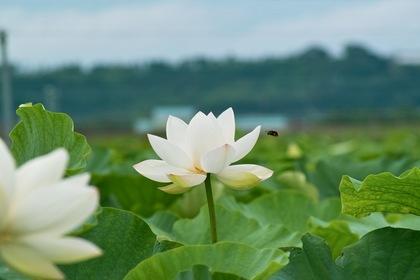 Lotus_bee07222007-1.jpg
