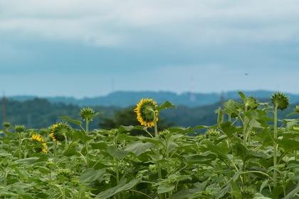 Sunflower07222007-1.jpg