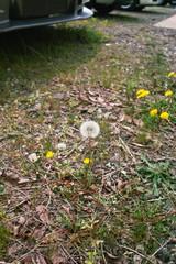 dandelion04232008d.jpg