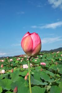 lotus_flower09062009dp2-02.jpg
