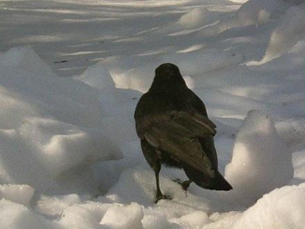 Black_crow02032011op.JPG