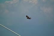 Black_kite12242007-02.jpg