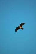 Black_kite12242007-04.jpg
