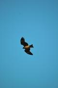 Black_kite12242007-06.jpg
