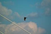 Black_kite12242007-08.jpg