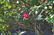 Camellia02112011nex5VS-2.JPG