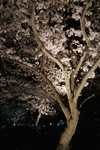Cherry_Blossom-night04122008-02d.jpg