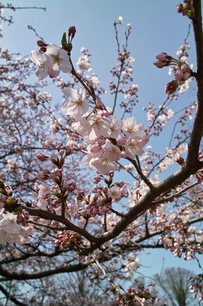 Cherry_Blossom04052008d.jpg