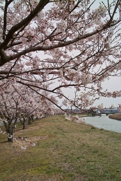 Cherry_Blossom04092008.jpg