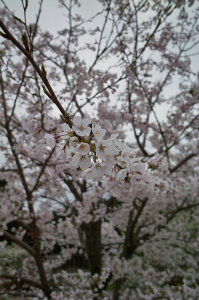 Cherry_Blossom04112008-01.jpg