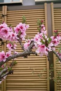 Cherry_Blossom04112008-02.jpg