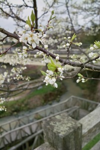 Cherry_Blossom04112008-03.jpg