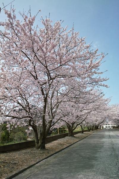 Cherry_Blossom04122008d.jpg