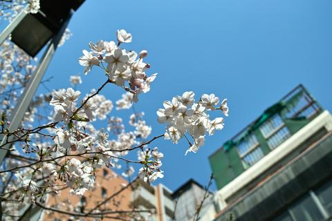 Cherry_Blossom_in_Tokyo04062011dp2.jpg