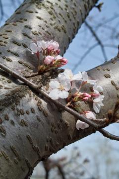 Cherry_blossom04102011dp2-2.jpg