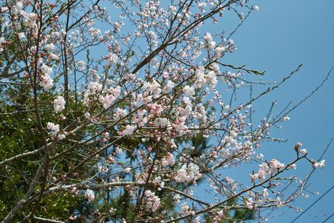 Cherry_blossom04132011dp2.jpg