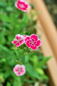 Flower_Pink07222007.jpg