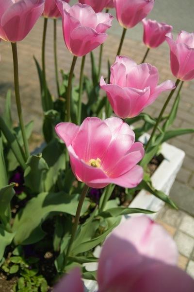 GW_Tulip04282008sd.jpg