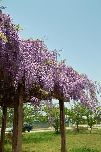 GW_wisteria05072008sd.jpg