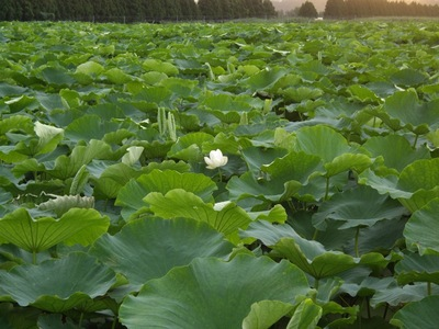Lotus07162007-2.jpg