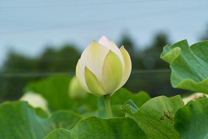 Lotus07222007-2.jpg