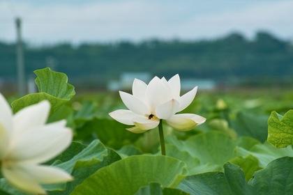 Lotus_bee07222007-2.jpg