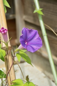 Morning_glory07222007-1.jpg