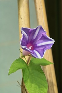 Morning_glory07222007-2.jpg