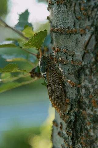 brown-cicada08152007.jpg