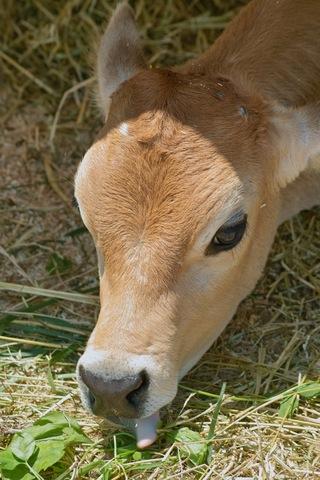 cow06172007.jpg
