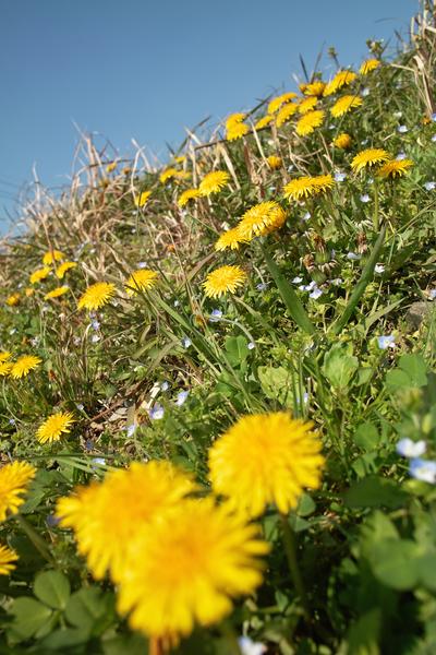 dandelion04092009d02.jpg