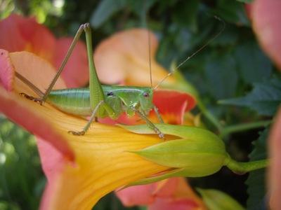 flower_grasshopper02272007-2.jpg