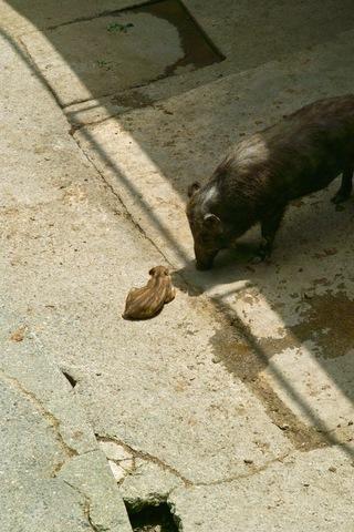 wild_boar01.jpg
